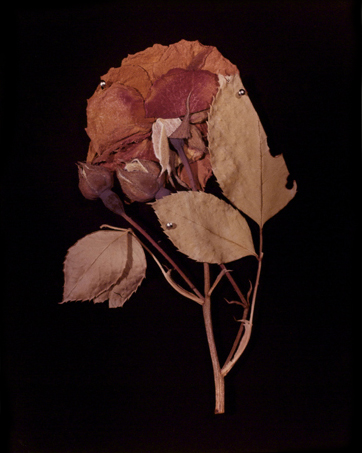 <strong>Hollis Frampton</strong> Rose (Rosa Damascena) 14 in portfolio ADSVMVS ABSVMVS, 2 in an edition of 14, 1982 Chromogenic color print, 50 x 39.5 cm Visual Studies Workshop Collection Gift of the artist 1986:0018:0016Aperture: 8Camera: NIKON D60Iso: 100Orientation: 1